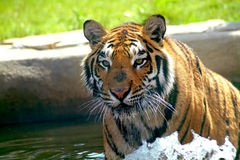 Tiger on water. Close-up Stock Images