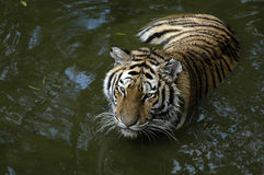 Tiger in water. A Tiger in the water Royalty Free Stock Image