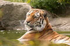 Tiger in water. Bengal tigress laying in water with his head up looking away from the camera in Paradise wildlife park, Broxbourne Royalty Free Stock Images
