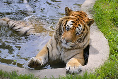 Tiger in the water Royalty Free Stock Photos