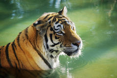 Tiger in the Water Royalty Free Stock Photo