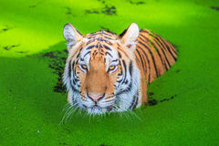 Tiger in the water Royalty Free Stock Images