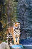 Tiger beside the water Royalty Free Stock Image