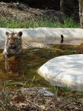 Tiger at water pool. Tiger on water pool. close snap of tiger at water pool Royalty Free Stock Photo
