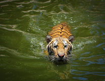 Tiger in the water Royalty Free Stock Image