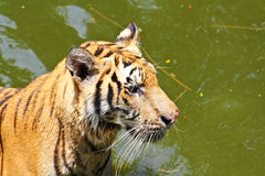Tiger in the water Stock Images