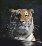 Captive Tiger in the Water Stock Photography