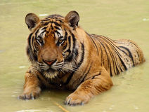Tiger in a water Royalty Free Stock Photo