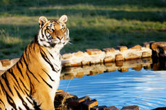 Tiger at Water Stock Photo