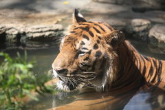 Tiger. In the water in thailand  zoo Stock Photography