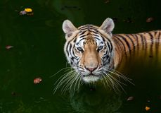 Tiger in the water. Tiger staring directly at camera with eyes. Tiger action, wild, face cat, nature habitat. Danger animal royalty free stock images