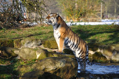 Tiger and water Royalty Free Stock Photo