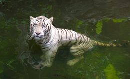 Grumpy white tiger in water Royalty Free Stock Photos
