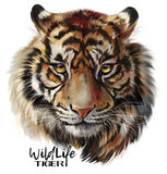 Tiger watercolor drawing. Tiger head illustration in grunge style royalty free illustration