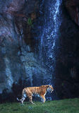 Tiger at a waterfall. A siberian tiger in front of a waterfall Stock Photo