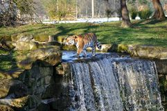 Tiger and waterfall Royalty Free Stock Photos