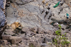 Tiger at a waterhole Stock Photos