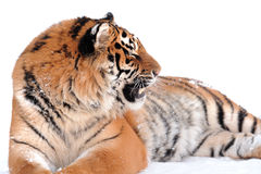 Tiger on the white Royalty Free Stock Image