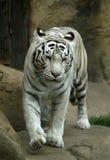 tiger white στοκ εικόνες με δικαίωμα ελεύθερης χρήσης