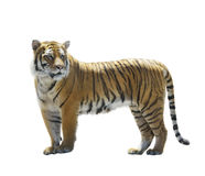 Tiger on White Background Royalty Free Stock Photo