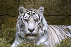 Tiger white bengalese nepal india symbol Royalty Free Stock Photo