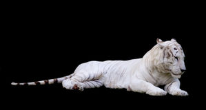 Tiger White With Black Background. A white bengal tiger isolated on a black backround Royalty Free Stock Photography
