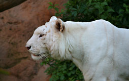Tiger White Profile. A digital image of a white tiger profile in a zoo in Tenerife royalty free stock images
