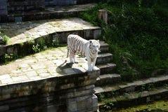 Tiger. A white striped tiger at a zoo in Belgium stock photos