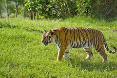 Tiger in the Wild. View of a tiger in the wild Royalty Free Stock Photos