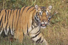 Tiger in the wild Stock Photography