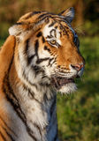 Tiger Wild Cat Royaltyfria Bilder