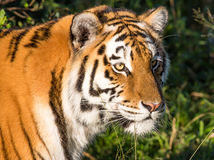 Tiger Wild Cat. Beautiful big  tiger wild cat with striped fur and long whiskers Stock Photography