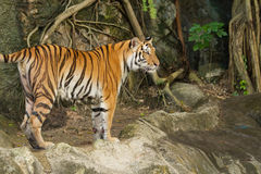 Tiger,wild cat Stock Image