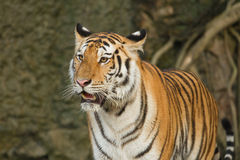 Tiger,wild cat Royalty Free Stock Image