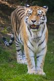 Tiger wild cat potrait. Hunting waiting for prey stock images