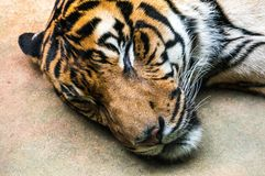 Tiger. Wild cat in zoological garden in Czech stock photos