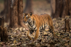 Tiger in wild of India. Adult male tiger in forest of India on sunny day Royalty Free Stock Photography