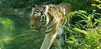 Tiger Wild Life stock images