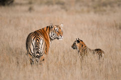 Tiger. Wild Tiger mother with cub Stock Images