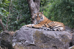 Tiger in the wild Royalty Free Stock Image