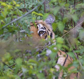 Tiger in wild Royalty Free Stock Image