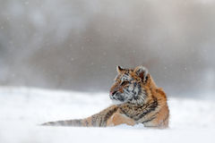 Tiger in wild winter nature.  Amur tiger lying in the snow. Action wildlife scene, danger animal. Cold winter, tajga, Russia. Snow Stock Images