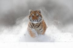 Tiger in wild winter nature. Amur tiger running in the snow. Action wildlife scene with danger animal. Cold winter in tajga, Russ. Ia stock photo