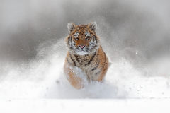 Tiger in wild winter nature. Amur tiger running in the snow. Action wildlife scene with danger animal. Cold winter in tajga, Russ