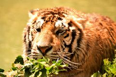Tiger in wilderness stock photography