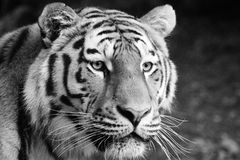 Tiger, Wildlife, Black And White, Mammal Royalty Free Stock Image