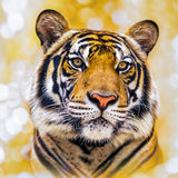 The tiger Royalty Free Stock Photo