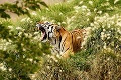 Tiger. Wildlife jungle animal dander travel stock photos