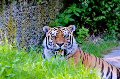 Tiger, Wildlife, Mammal, Grass Royalty Free Stock Photos