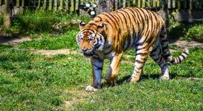 Tiger, Wildlife, Mammal, Grass Stock Images